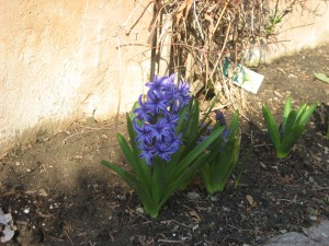 Hyacinth survives the rabbits