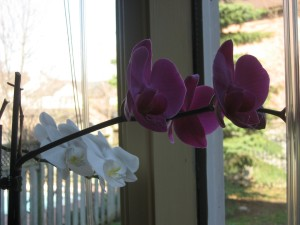 April blooming Phalenopsis Orchids